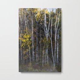 Maine Birches 1 Metal Print