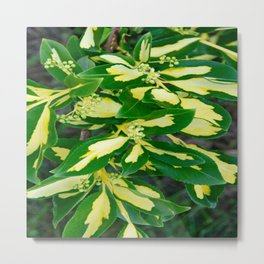 Euonymus Blondy Shrub-2 Metal Print