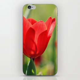 Red tulips in backlight 2 iPhone Skin