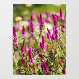 Colorful Celosia Poster