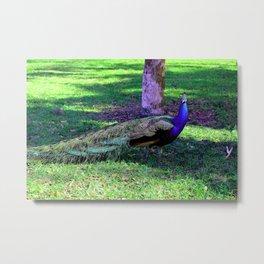 Peacock at Kingsley Plantation Metal Print