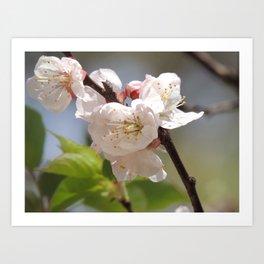 Apricot Tree Bloom Art Print