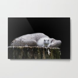 Young Griffon vulture, Gyps fulvus I Metal Print