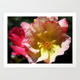 Prettyness Of A Rose Art Print