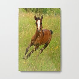 Arabian brown horse Metal Print
