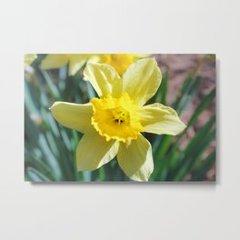A large yellow flower of narcissus. Metal Print