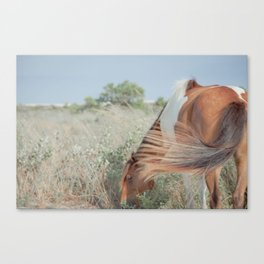 wild horse, assateague Canvas Print