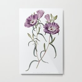 Large Purple Chilian Evening Primrose from Edwards's Botanical Register (1829—1847) by Sydenham Edwa Metal Print
