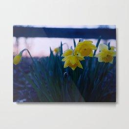 Creamy Daffodil Sunset Metal Print