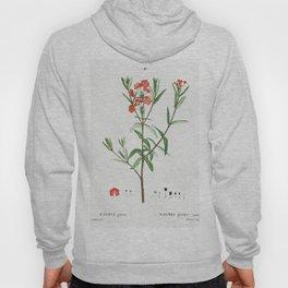 Fontanesia Phillyreoides (1801-1819) from Traite des Arbres et Arbustes que lon cultive en France en Hoody