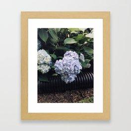 Hydrangeas & Hose Framed Art Print