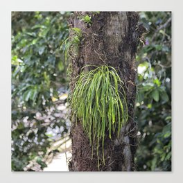 Epiphyte growth on tree in rainforest Canvas Print