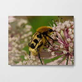 bee beetle Metal Print