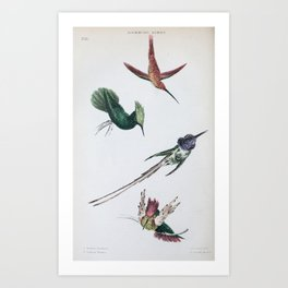 Reddish Hermit, trochilus davidianus, Antillean Crested Hummingbird, trochilus cristatus, Peruvian Sheartail, trochilus cora, Purple-throated Carib, trochilus auratus26 Art Print