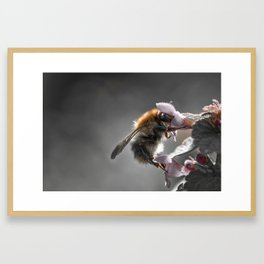 The bumblebee and the sweet things Framed Art Print