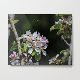 Pollinating Bee visiting the flowers Metal Print