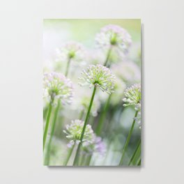 Allium - Onion Flowers 4 Metal Print