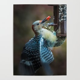 Red-bellied Woodpecker and fruit II Poster