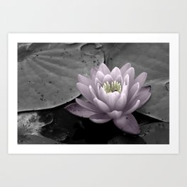 Pink Waterlily Art Print