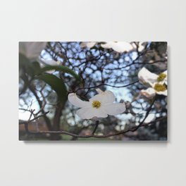White Dogwood Metal Print