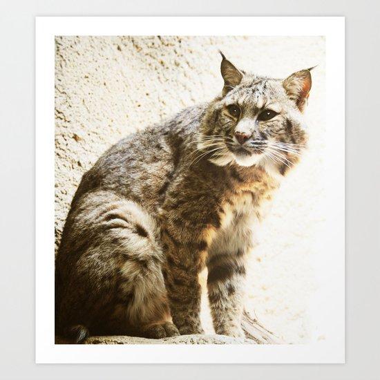 Bobcat Sitting Art Print