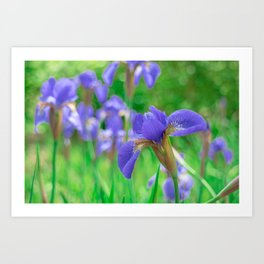 Group of purple irises in spring sunny day Art Print
