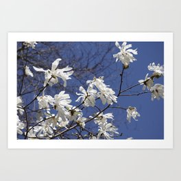 Star filled sky (Star Magnolia flowers!)      Edit Art Print