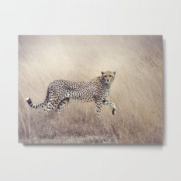 Cheetah on the savannah Metal Print