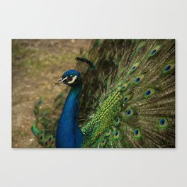 Pensive Peacock Canvas Print