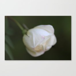 White rosebud Canvas Print