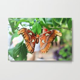 Attacus Atlas Metal Print