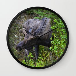 Male Moose on the loose in Jasper National Park   Canada Wall Clock