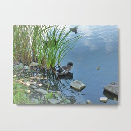 A duck sitting alone on the blue water's edge Metal Print