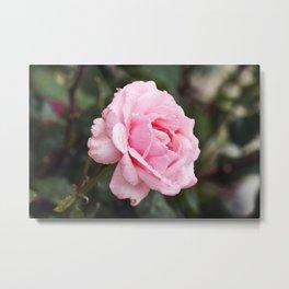 Pink Blush Metal Print