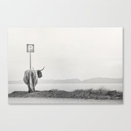 highland visitor Canvas Print
