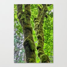 Moss-Covered-Maple Canvas Print