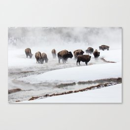 Yellowstone National Park - Bison Herd Canvas Print