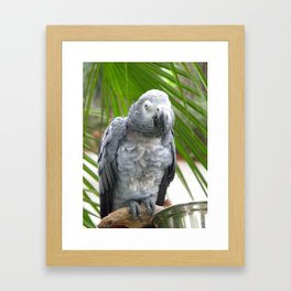 Grey Parrot  Framed Art Print