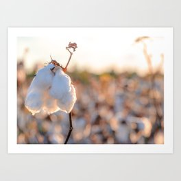 Cotton Field 14 Art Print