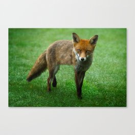 Wild Red Fox Canvas Print