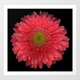 Coral Gerbera Daisy Art Print