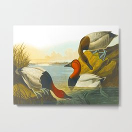 Canvasback Duck Metal Print
