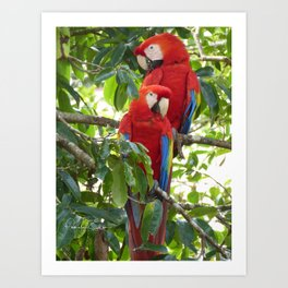Colorful Macaw Couple Art Print