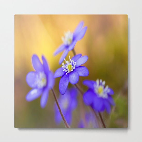 Spring Wildflowers, Beautiful Hepatica in the forest on a sunny and colorful background Metal Print