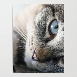 Blue Eyed Cat Close Up Poster