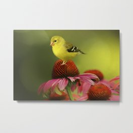 Puff Ball of a Goldfinch Metal Print
