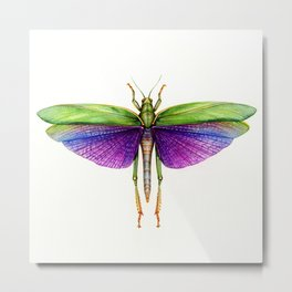 Titanacris albipes- Purple Winged Grasshopper Metal Print