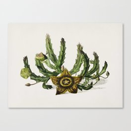 Carrion-flower (Stapelia variegata) illustrated by Charles Dessalines D' Orbigny (1806-1876) Canvas Print
