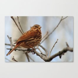 Song Sparrow on a Branch Canvas Print