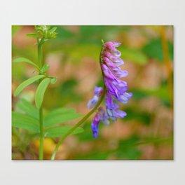 purple vetch Canvas Print